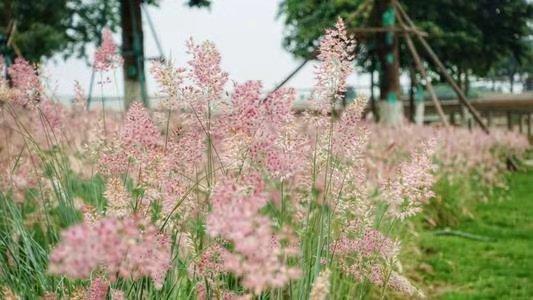 坡地毛冠草基地|文婷花卉苗木優惠的坡地毛冠草供應
