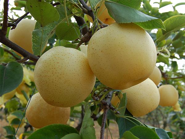 圆黄梨哪里有供应_高质量的梨树苗出售
