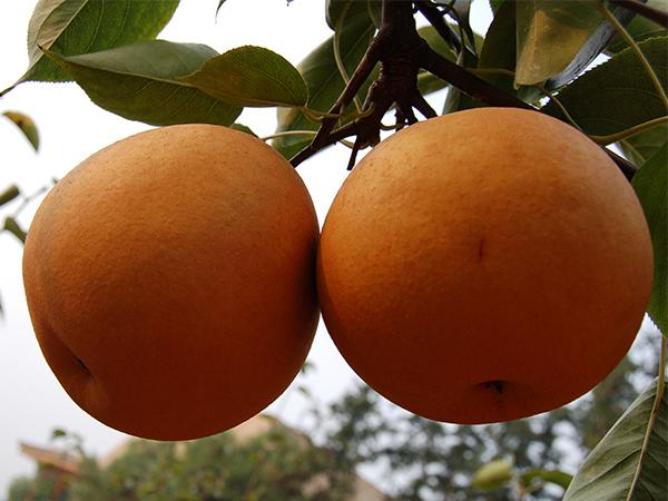 翠冠梨-梨樹苗買賣價格