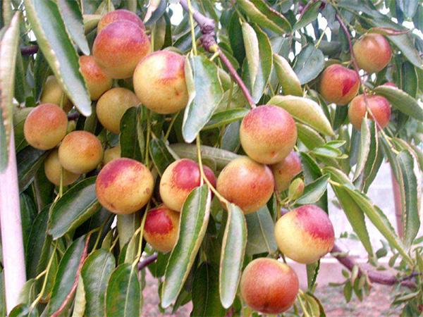 高山葡萄-株洲优良水果苗供应