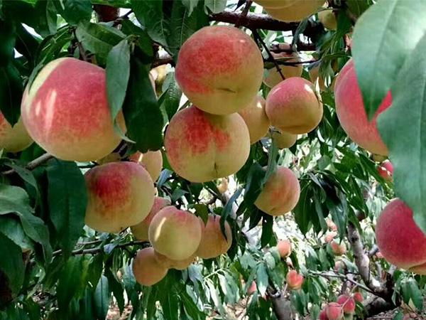 桃树苗可信赖-桃树苗多少钱一株