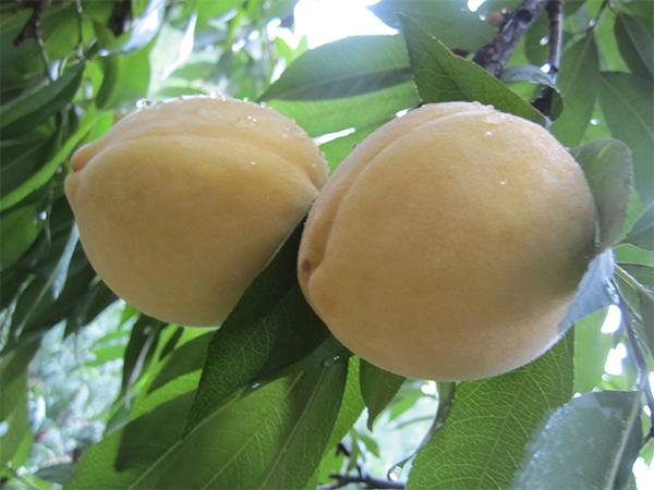 桃树苗供应|要买桃树苗就到地杰现代农业
