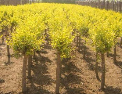 兰州苗木-金叶榆价格树苗-价格低-规格全-货到付款
