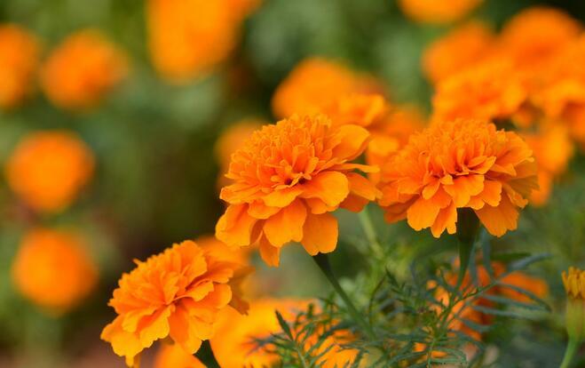 孔雀草批发商-盛达花卉苗木供应实惠的孔雀草