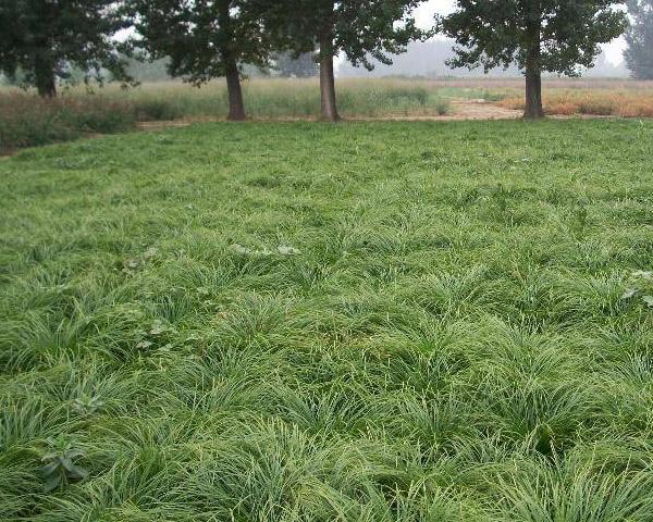 青绿苔草-价格实惠的哪里有_青绿苔草