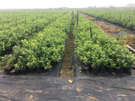买占地蓝莓苗到丹东华彩苗木有限公司
