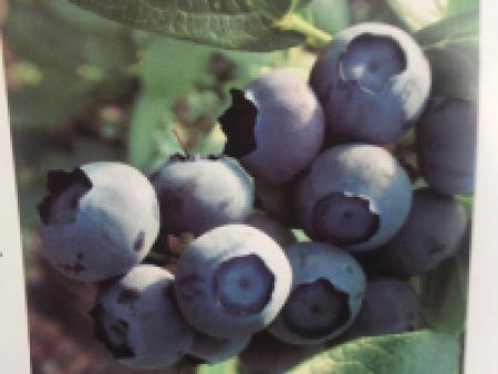 新买的丹东蓝莓苗怎样种植?这些方法要知道