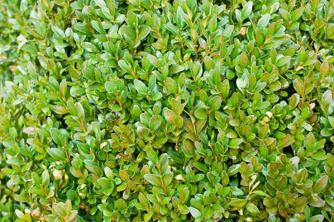 北海道黄杨价格|北海道黄杨种植基地