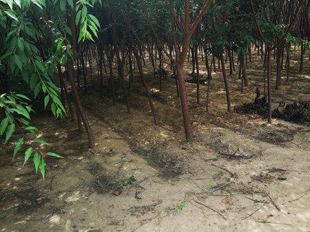 遼寧叢生茶條槭價格-怡景園林苗圃優良的京桃樹苗出售