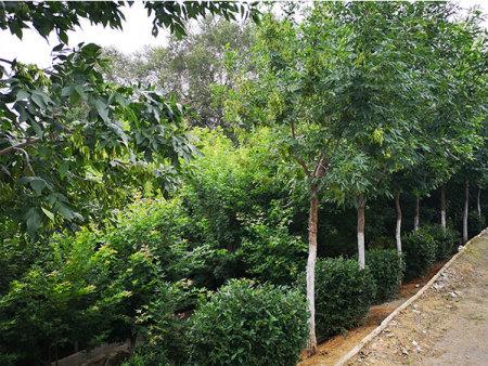 苗木哪家好-無病蟲害的苗木出售
