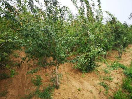 哈爾濱苗木價格-無病蟲害的苗木推薦