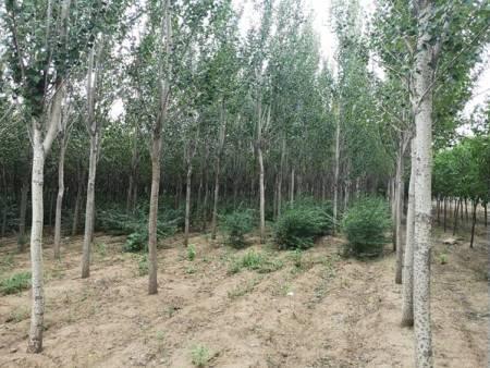 錦州銀中楊樹苗多少錢-想要成活率高的銀中楊樹苗就來怡景園林苗圃