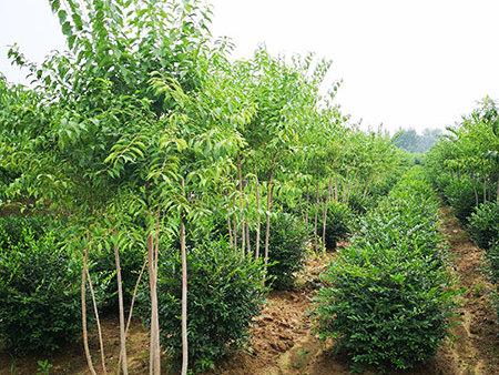 園林綠化-怡景園林苗圃供應可靠的園林綠化