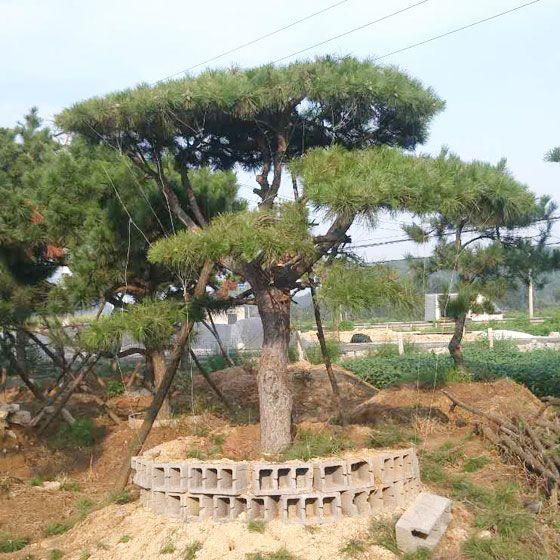莱芜造型油松树/平顶松批发价