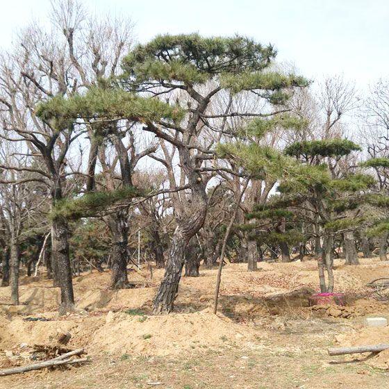造型景观松基地|供应品种好的造型景观松