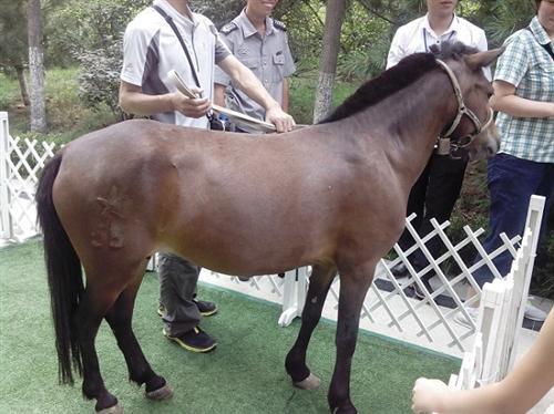 盤錦矮馬出租價格-遼寧省劃算的矮馬出租