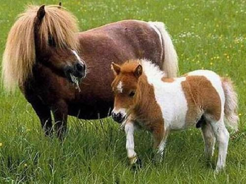 锦州出租矮马-具有口碑的矮马出租就在辽宁