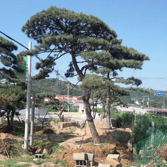 想要品质好的造型风景松就来秀景园林-风景松基地