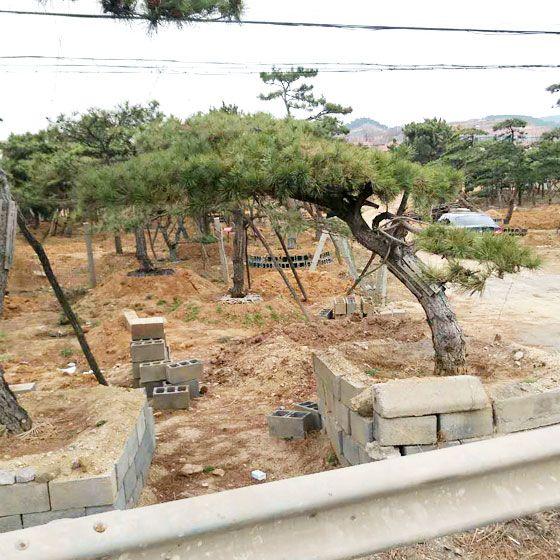風景松基地,供應山東品種好的造型風景松