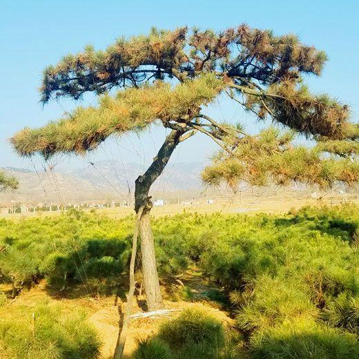 南昌造型松树-哪里能买到品种好的造型松树