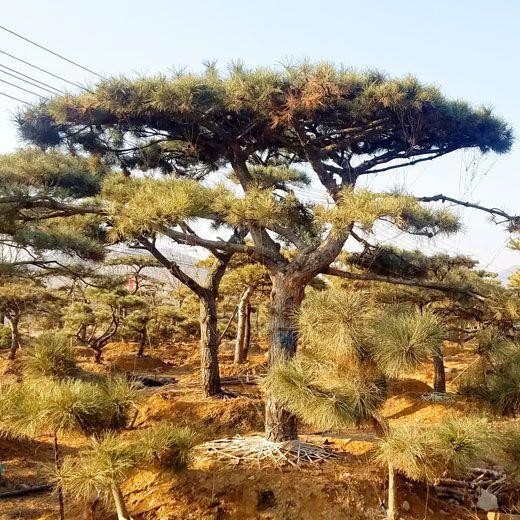 山东优良造型松树批发-造型松树