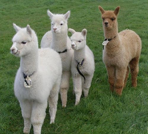 长春羊驼出租公司-服务好的羊驼出租公司推荐