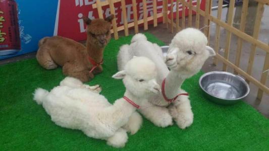 羊駝租賃-沈陽眾馳文化傳播專業提供可靠的羊駝出租