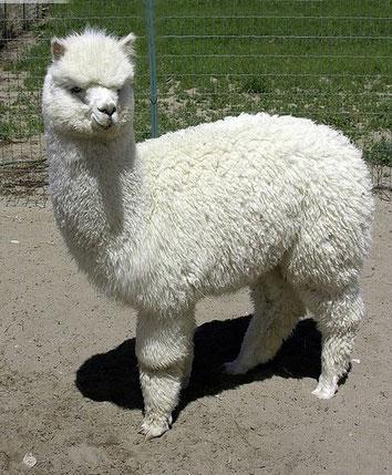 出租羊駝公司-推薦沈陽放心的羊駝出租