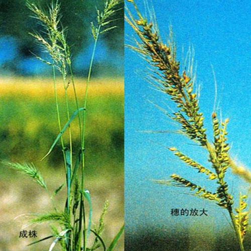 牧草種子認準寧夏上谷農牧-吳忠牧草種子推薦
