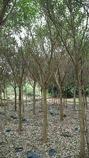 漳州红皮榕价格实惠红皮榕专业种植批发