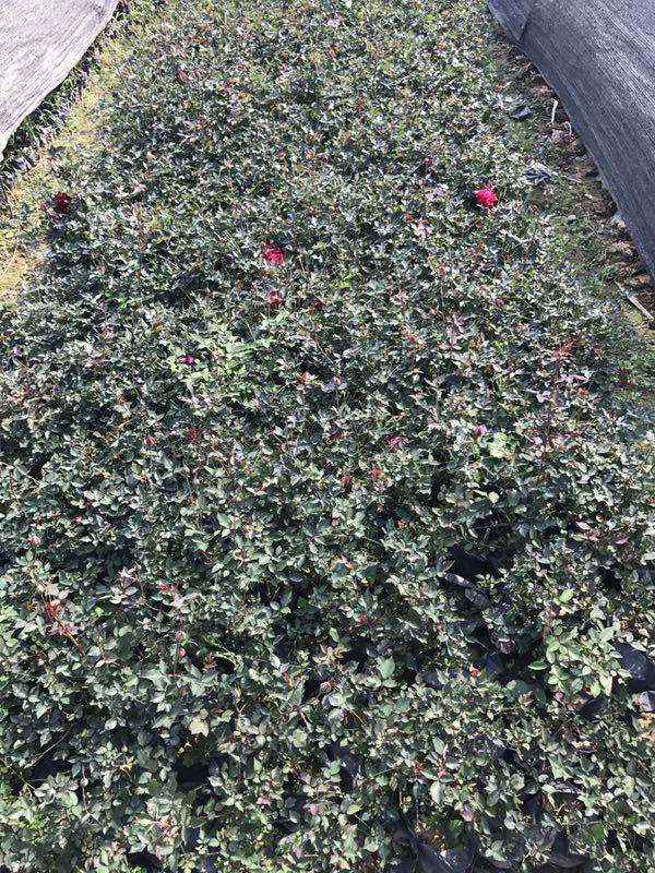 價格便宜物美價廉豐花月季基地直銷,想要品質好的豐花月季就來榕翔苗木場