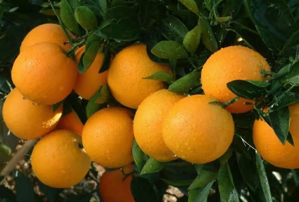 廣西海吉星市場-買銷量好的廣西海吉星水果批發當選朱七融發果業