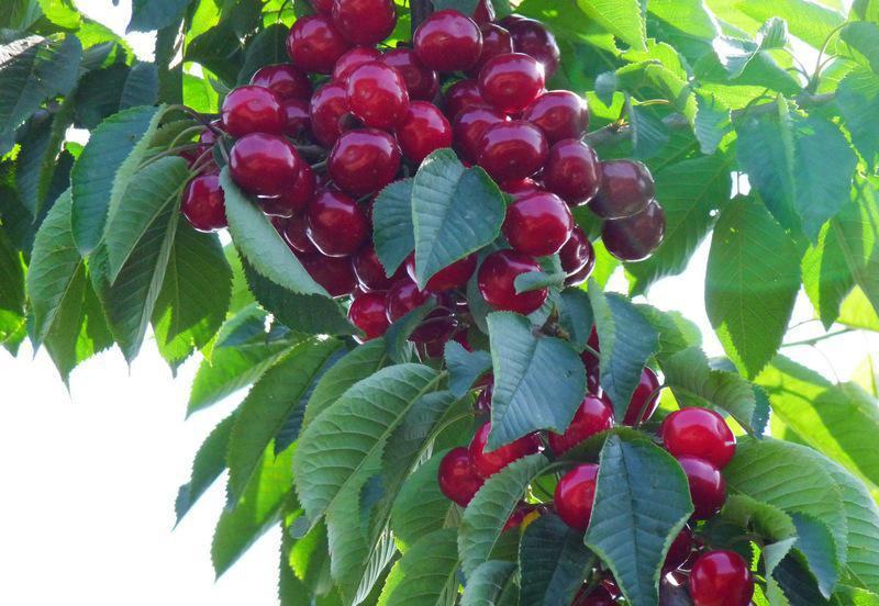 廣西海吉星水果-南寧價格實在的廣西海吉星櫻桃批發