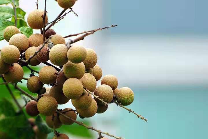 广西海吉星水果代销-朱七融发果业-您值得信赖的南宁海吉星龙眼批发供应商