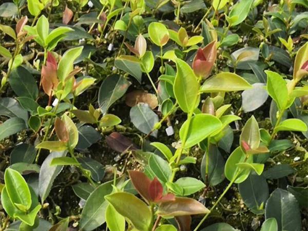 株洲杯苗批發-油茶樹苗價格