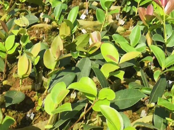 绿佳苗木专业供应杯苗-宁夏良种油茶苗多少钱