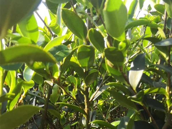 新兰油茶合作社,买杯苗认准绿佳苗木