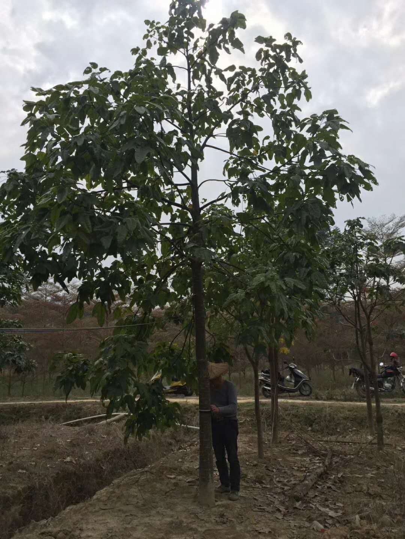 澳洲火焰木供应商浙江温州风景树澳洲火焰木