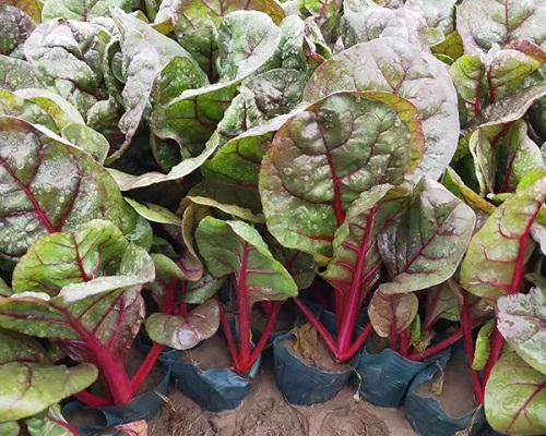 青岛红叶甜菜-实惠的红叶甜菜潍坊哪里有