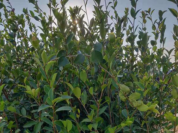 油茶苗哪里有供應 品種好的杯苗優選林軒