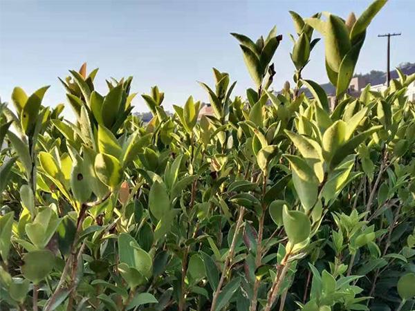 内蒙古油茶苗-质量好的杯苗优选景逸源园