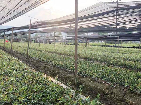 三华油茶价格 靠谱的裸根苗出售