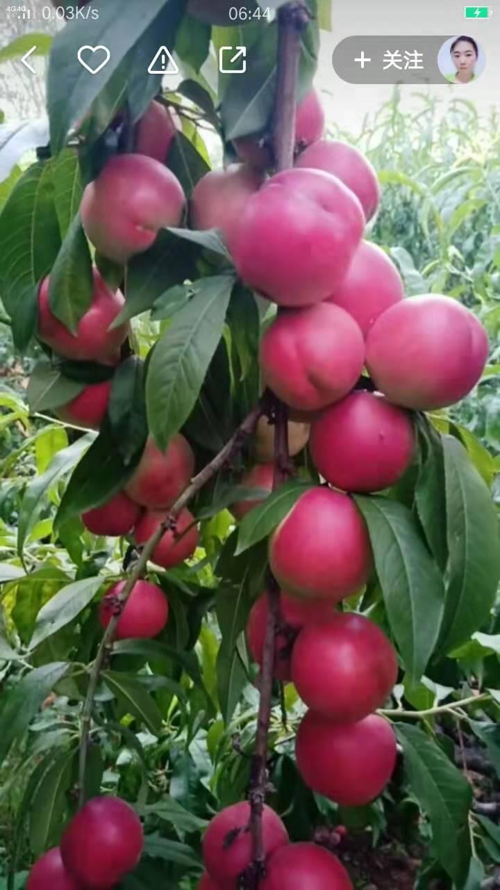 中油珍珠枣油桃0号培育-想要实惠的中油珍珠枣油桃0号就来友建苗木