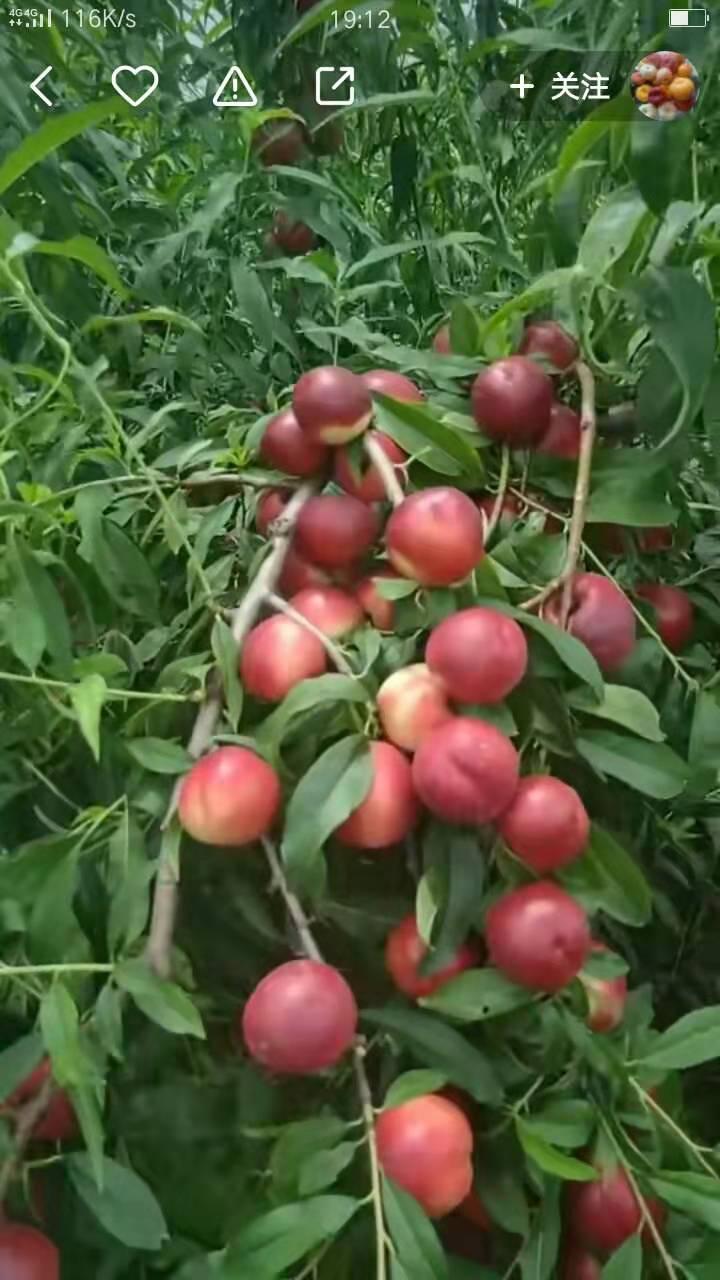 中油珍珠枣油桃0号树苗-山东中油珍珠枣油桃0号供应基地