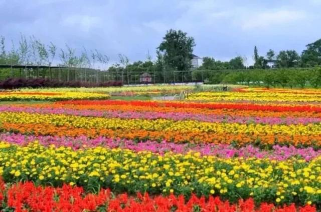 桔红色马鞭草基地,桔红色马鞭草种植基地,桔红色马鞭草