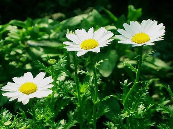 山東白晶菊基地-哪里有提供劃算的白晶菊