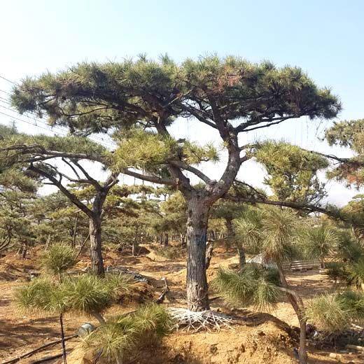 莱芜秀景园林带您了解造型松树的培育技术知识