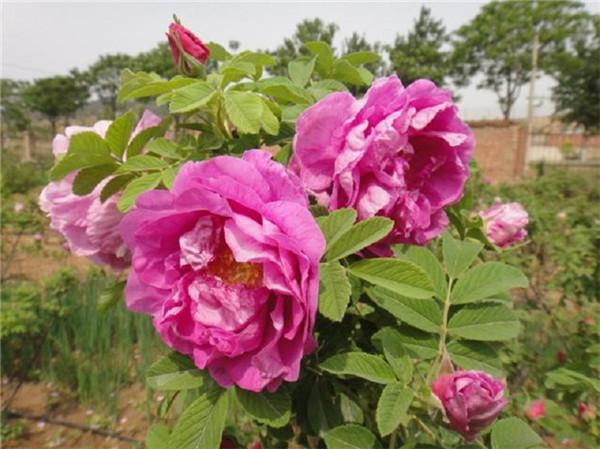 四季玫瑰批发-乾鑫花卉出售实用的四季玫瑰