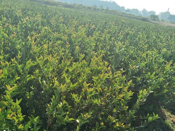 攸县油茶苗哪里有供应|供应湖南物超所值的湘林油茶