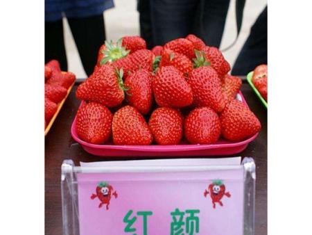 济宁红颜草莓苗批发-优良红颜草莓苗大量批发